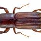 Platypus spec. male